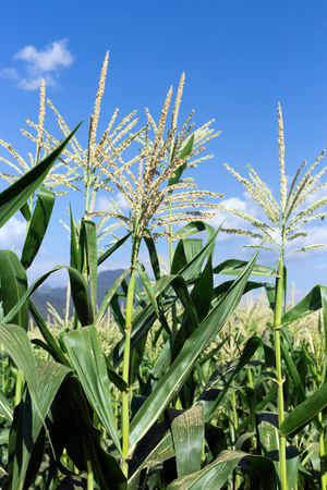 Corn on the field with blue sky background