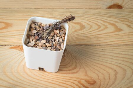 dead cactus in a white pot on a wooden background