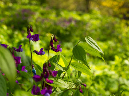 leguminosas: baptisia flor. La familia de las leguminosas