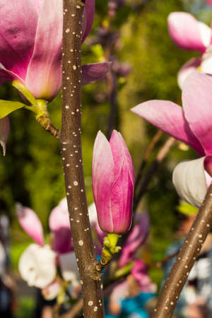 magnolia soulangeana: Pink bud flower Magnolia � Soulangeana Stock Photo