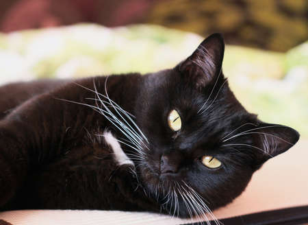 whiskers: Portrait of a black cat with a white whiskers and eyebrows