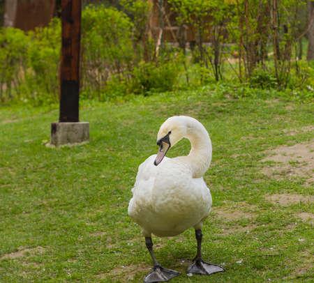 monogamous: Mute swan (Cygnus olor) on the grass