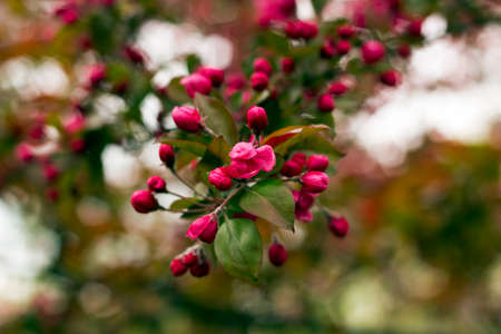 royalty: Flowering branch decorative wild Royalty apple tree with red flowers