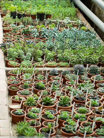 growing flowers: Interior of greenhouse for growing flowers, plants and cactus. Market for sale plants. Many plants and cactus in pots Stock Photo