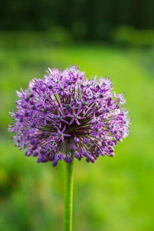 allium: Allium giganteum violet flower