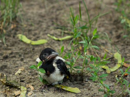 pica: Nestling magpie bird in grass. Pica pica young bird
