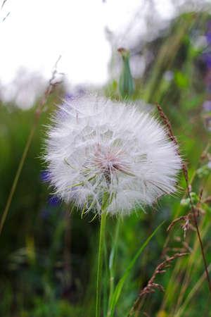 blowball: Large white fluffy dandelion flower. Distant relative of dandelion - Salsify. Tragopogon flower. Family sunflower family. Seeds are borne in fluffy globe. Fragile fluff blowball
