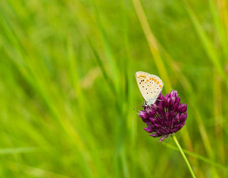 lycaenidae: Macro photo small blue butterfly Plebejus argus on a flower of pink clover in meadow summer day. Silver-studded blue Plebejus argyrognomon is butterfly in family Lycaenidae