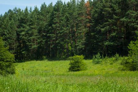 Glade in summer pine forest. Fir trees summer glade rural scene