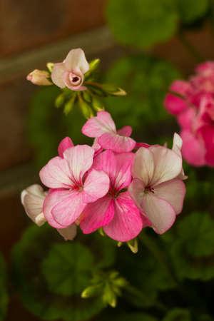 sublime: Pink geranium flowers