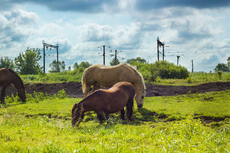 domestics: Herd of horses different colors grazing in land under stormy cloudy blue sky summer day. Domestics animals walking free
