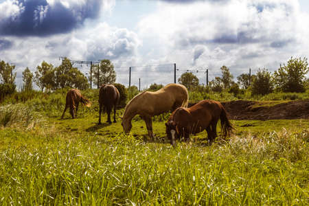 domestics: Herd of horses different colors grazing in field under stormy cloudy sky summer day. Domestics animals walking free. Photo in warm colors Stock Photo