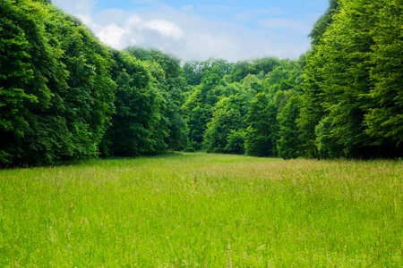Beautiful glade in summer pine forest uder blue cloudy sky. Fir trees summer glade. Tranquil scene