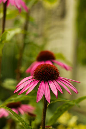 dicot: Echinacea flower pink in evening garden Stock Photo