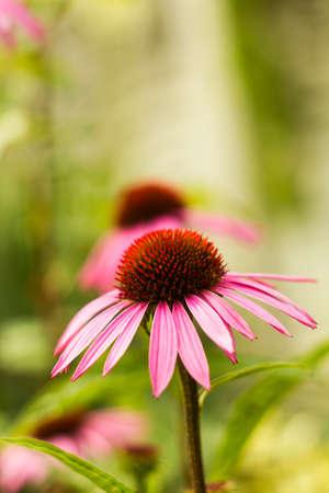 dicot: Echinacea flower pink in summer garden