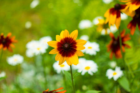echinacea: Sunny yellow flower Rudbeckia in summer garden flowerbed ease cultivation
