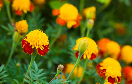 selections: Tagetes in summer garden. Yellow flowers Marigolds