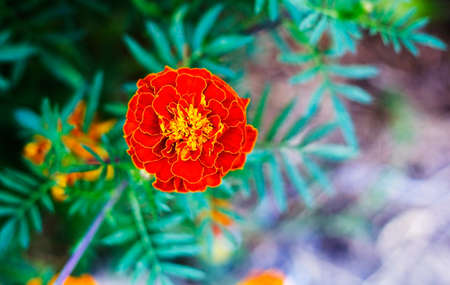selections: Tagetes in summer garden. Yellow flower Marigold