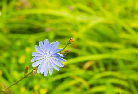 escarola: azul brillante de flores silvestres de achicoria común o Cichorium intybus en el campo de verano. Cierre de la flor de la achicoria
