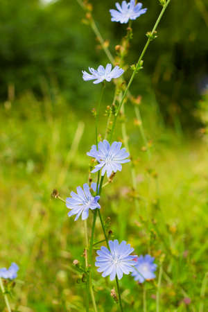 Bright blue wildflower Common chicory or Cichorium intybus in summer field. Close up flowers Chicory