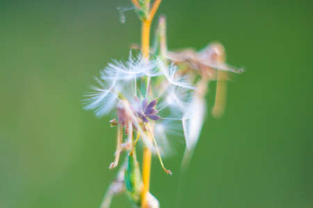 Fragile dandelion fluff. Autumn abstraction. Fragile fluff blowball