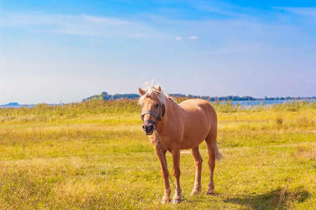 light brown horse: Light brown horse with white mane stands on meadow near blue lake. Palomino horse in field