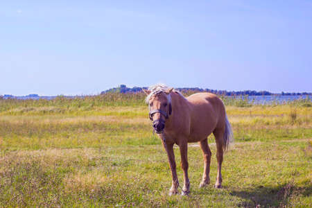 palomino: Light brown horse with white mane stands on meadow near blue lake. Palomino horse in field