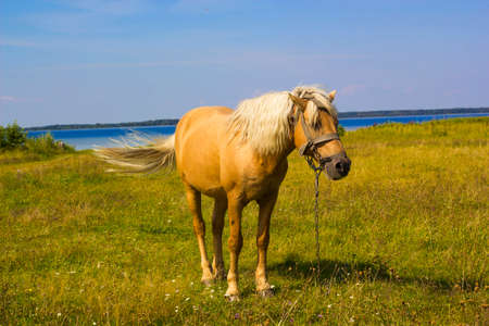 Light brown horse with white mane stands on meadow near blue lake. Palomino horse in field