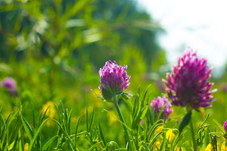 Summer field with yellow and pink flowers Clover. Wild meadow pink clover flower in green grass in meadow soft sunlight. Vintage photo with pastel colors and romantic atmosphere