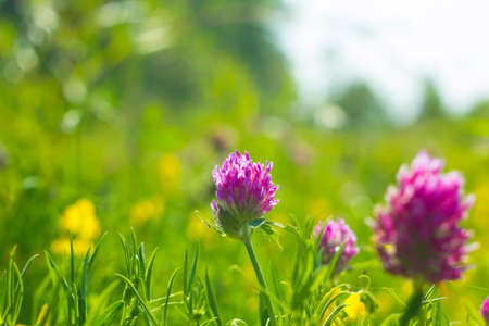 Summer field with yellow and pink flowers clover wild meadow stock photo summer field with yellow and pink flowers clover wild meadow pink clover flower in green grass in meadow soft sunlight mightylinksfo