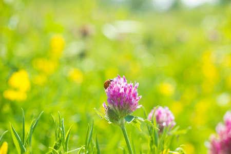 Ladybug sitting on pink clover flower on summer meadow. Macro life soft focus