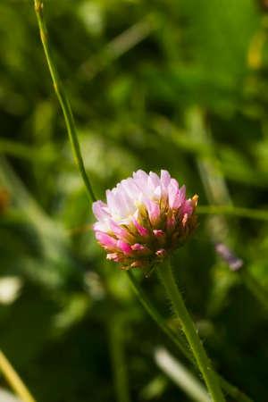 Pink flower Clover in summer field