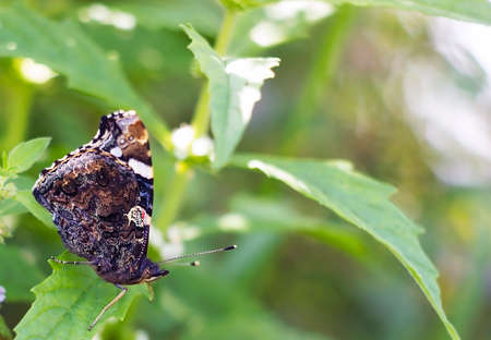 Butterfly Red Admiral is sitting on green leaf. Vanessa atalanta butterfly
