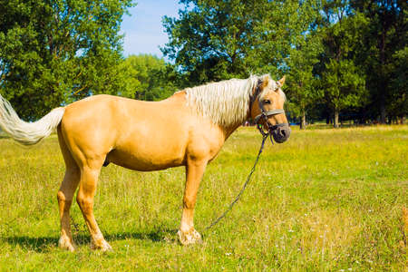 Horse Palomino in summer field. Light brown horse with white mane stands on meadow near blue lake