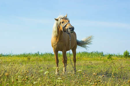 palomino: Horse Palomino in summer field. Light brown horse with white mane stands on meadow near blue lake