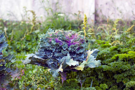 Cabbage Kale purple and green growing in garden