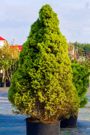 picea: Picea glauca Conica dwarf decorative coniferous evergreen tree. White spruce green tree in pot. Also known as Canadian spruce, skunk spruce, cat spruce, Black Hills spruce, western white spruce, Alberta white spruce, and Porsild spruce