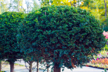 Taxus evergreen tree trimmed in shape of sphere in pot Stock Photo