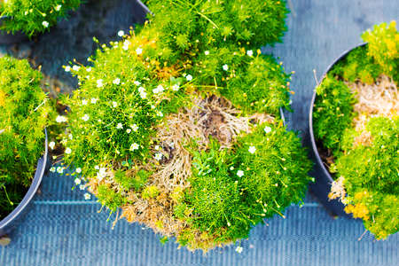 Sagina blooming plants in pots for sale. Irish moss in flowerpots top view Stock Photo