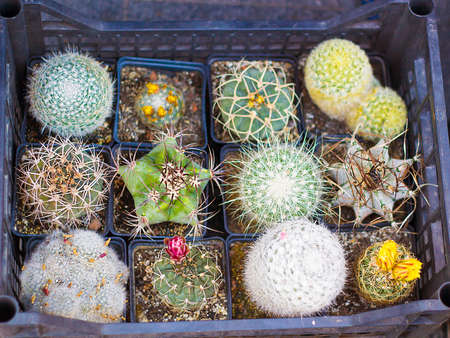 conservatory: Variety of cactus and succulents in pots for sale top view Stock Photo