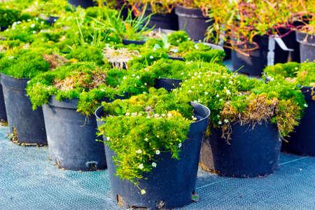 Sagina blooming plants in pots for sale. Irish moss in flowerpots Stock Photo
