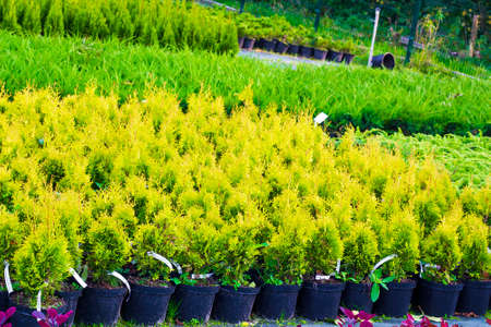 thuja occidentalis: Many pots with Thuja occidentalis sold in garden center. Also known as Northern White Cedar, eastern arborvitae, Eastern White Cedar, Arborvitae, Eastern Arborvitae, Swamp Cedar tree