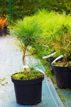 Small Pinus nigra tree sold in garden center. Austrian pine or black pine trees Stock Photo