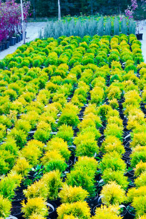 Many pots with Thuja occidentalis sold in garden center. Also known as Northern White Cedar, eastern arborvitae, Eastern White Cedar, Arborvitae, Eastern Arborvitae, Swamp Cedar tree