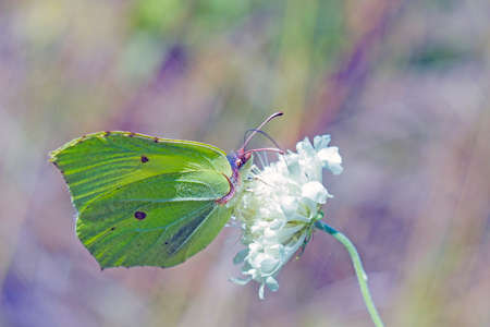 Light green butterfly Gonepteryx rhamni sitting on white flower. Butterfly Common brimstone is butterfly of Pieridae family feeding on white flower