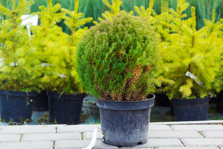 Small Taxus evergreen coniferous tree in flowerpot sold at garden center against fir trees Stock Photo
