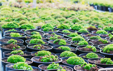 Saxifraga plants and in black pots for sale at garden center, known as saxifrages or rockfoils plant