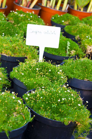 sold small: Sagina Subulata blooming plants in pots for sale. Irish moss in flowerpots, soft selective focus