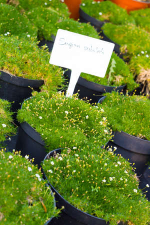 sold small: Sagina Subulata blooming plants in pots for sale. Irish moss in flowerpots