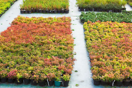 sold small: Rows of seedlings of different plants in pots sold in garden center selective focus Stock Photo